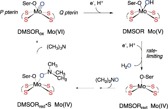 dimethyl sulfoxide reductase - Semantic Scholar