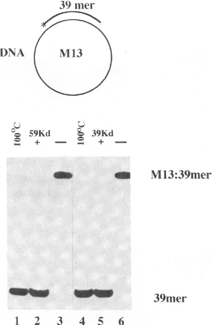 Figure 2. DNA unwinding by DBP. The assay was performed in the presence of 10 fmol M13-39mer DNA substrate and 34 pmol of either full length DBP (59 kDa) or the 39 kDa chymotryptic fragment (39 kDa) as described in Material and Methods. The substrate for the assay is shown in the upper part of the figure and consists of a 5 _32 P labelled 39 mer oligonucleotide, annealed to the single stranded form of phage M13 DNA. Lanes 1 and 4 are the heat-denatured substrate and lanes 3 and 6 are the native substrate incubated in the absence of DBP. Lane 2 is the reaction with DBP (59 kDa) and lane 5 the reaction with the 39 kDa chymotryptic fragment of DBP (39 kDa).
