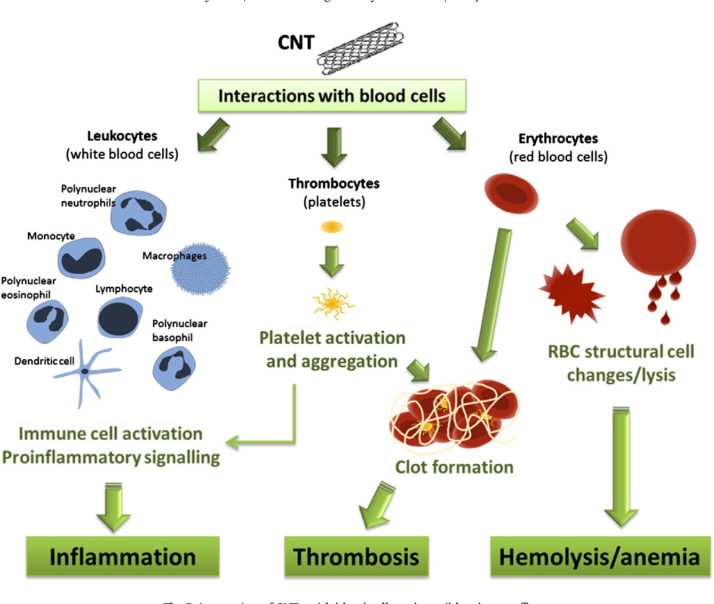 Table 2 From Hemotoxicity Of Carbon Nanotubes Semantic Scholar Red And White Blood Cell Diagram Cells