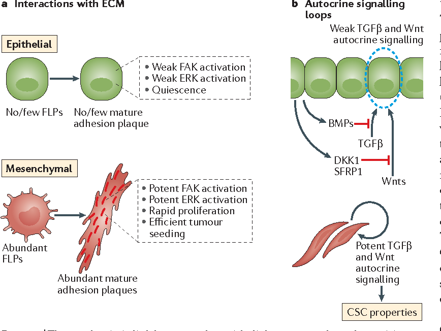 Figure 4 from EMT, CSCs, and drug resistance: the mechanistic link