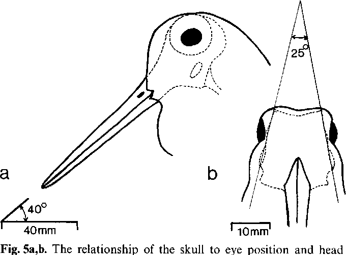 figure 5 from visual fields in woodcocks scolopax rusticola Black Rhino Side View fig 5a b the relationship of the skull to eye position and head