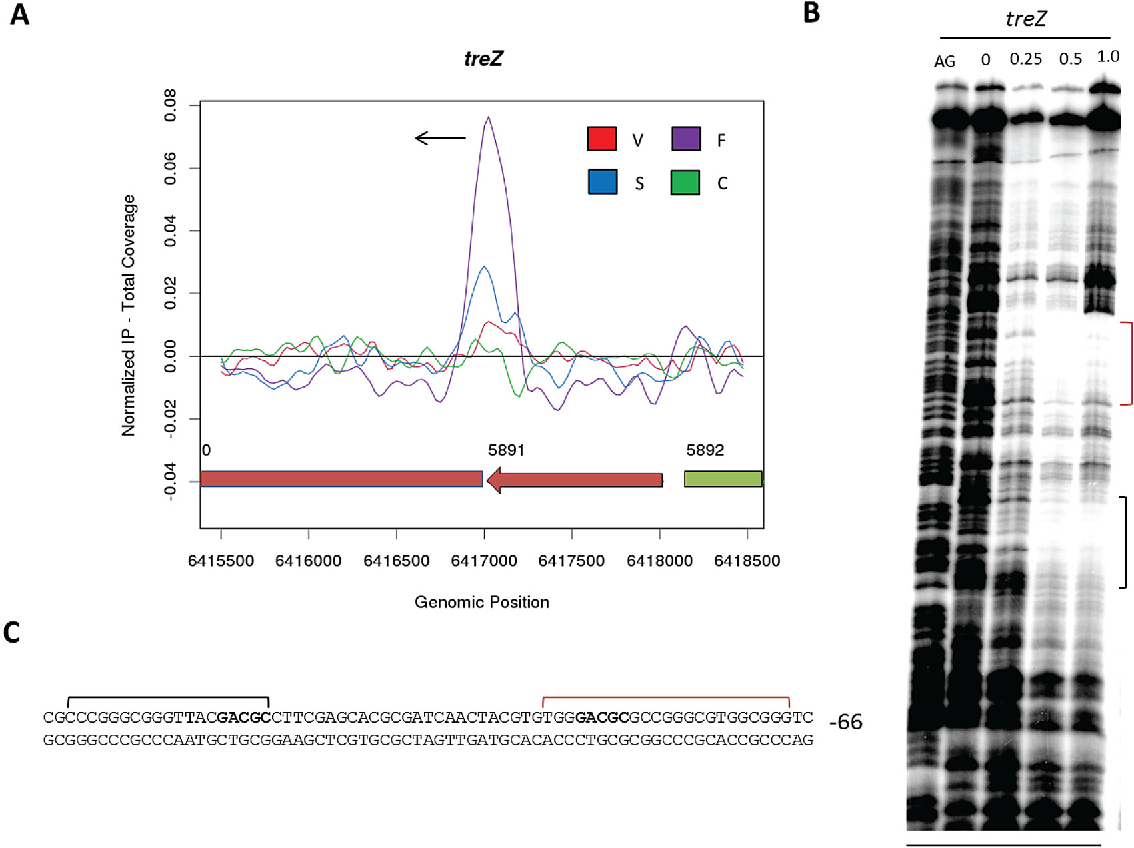 FIG 4 treZ, a WhiA target lacking a perfect GACAC motif. (A) ChIP-seq data for the WhiA target gene treZ. Color coding of the ChIP samples is as follows: 3 FLAG-[Gly4Ser]3-WhiA strain during vegetative growth (V, red), at the onset of sporulation/fragmentation (F, purple), and at midsporulation (S, blue) and the S. venezuelae negative-control strain (C, green). The plot spans approximately 3 kb of DNA sequence. Genes running left to right are shown in green, and genes running right to left are shown in red. The black arrow indicates the gene subject to WhiA regulation. (B) DNase I footprinting analysis of WhiA binding to the promoter region of treZ. 5=-end-labeled probes were incubated with increasing concentrations of WhiA (indicated in M above the lanes) and subjected to DNase I footprinting analysis as described in Materials and Methods. The footprint is flanked by a Maxam and Gilbert sequence ladder (AG). Black and red brackets indicate the positions of the WhiA-protected regions. (C) Sequence summary of DNase I footprinting results presented in panel B. Black and red brackets indicate the protected sequences, with the near-consensus motif shown in bold. The number indicates the distance (bp) between the nearest consensus motif and the putative start codon of the treZ gene.