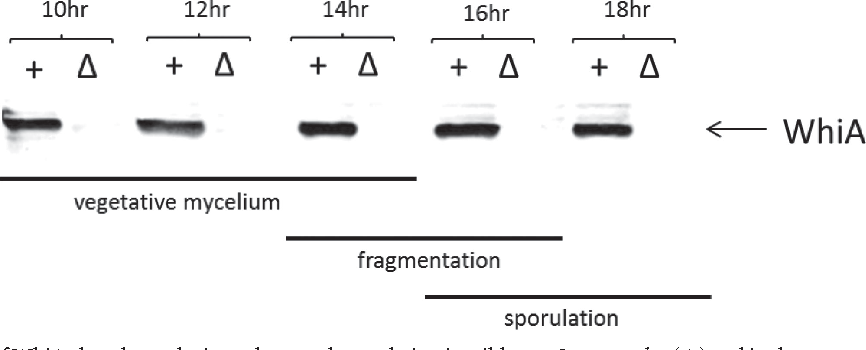 FIG 5 Western blot analysis of WhiA abundance during submerged sporulation in wild-type S. venezuelae ( ) and in the congenic whiA mutant control strain, SV11 ( ). Strains were grown in MYM liquid sporulation medium, 10 g total protein was loaded per lane, and the blot was developed using a polyclonal antiserum raised against S. venezuelae WhiA. Bars indicate vegetative growth, fragmentation, and sporulation in the wild type, as judged by microscopic examination.