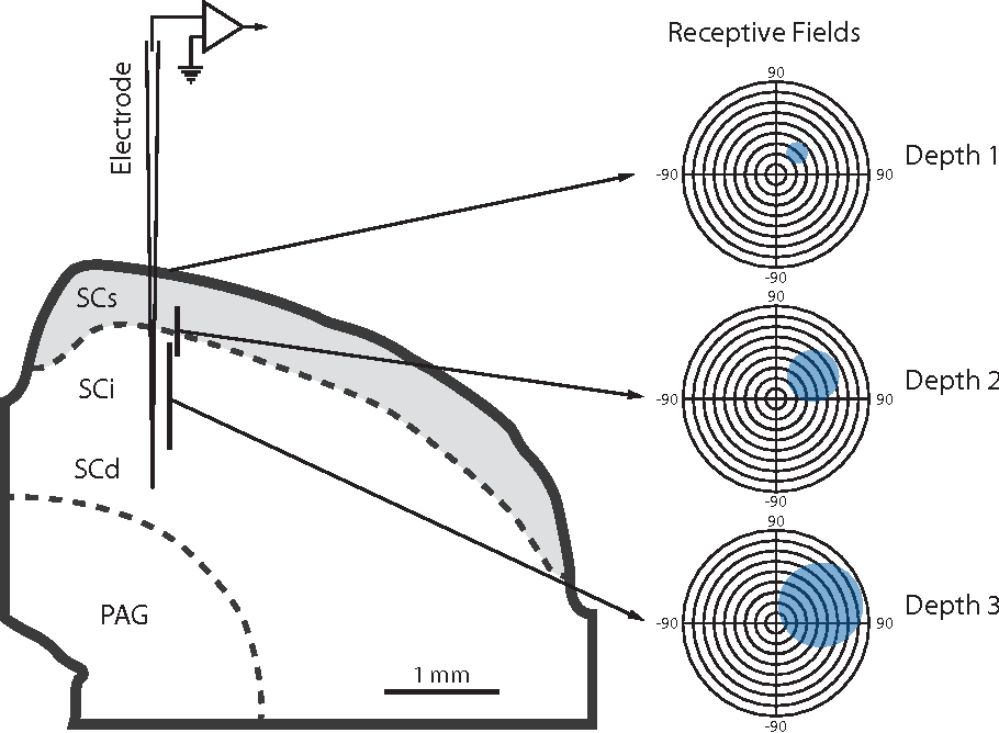 Multisensory response modulation in the superficial layers of the ...