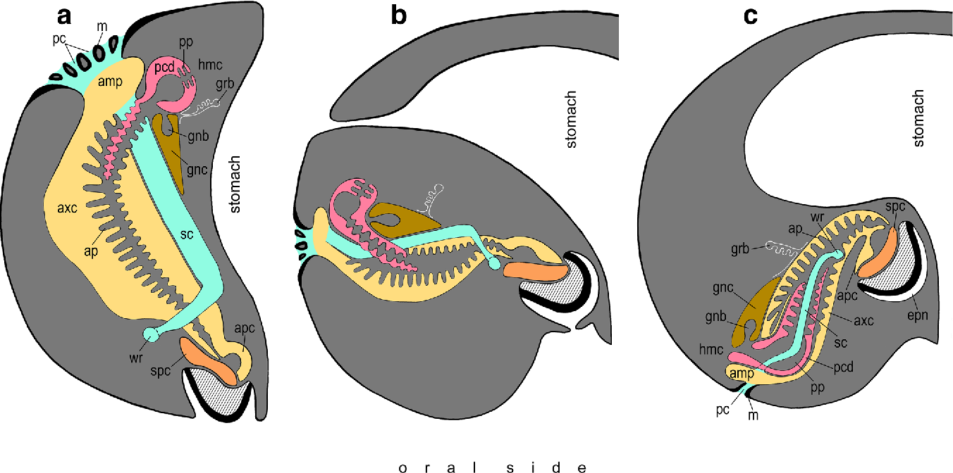 Microscopic anatomy of the axial complex and associated structures ...
