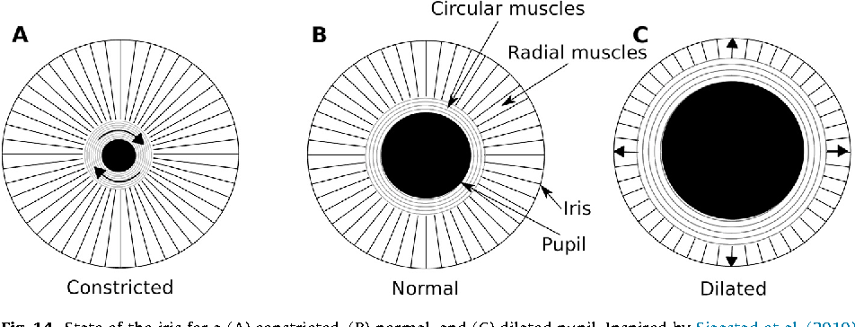radial and circular muscles of the eye