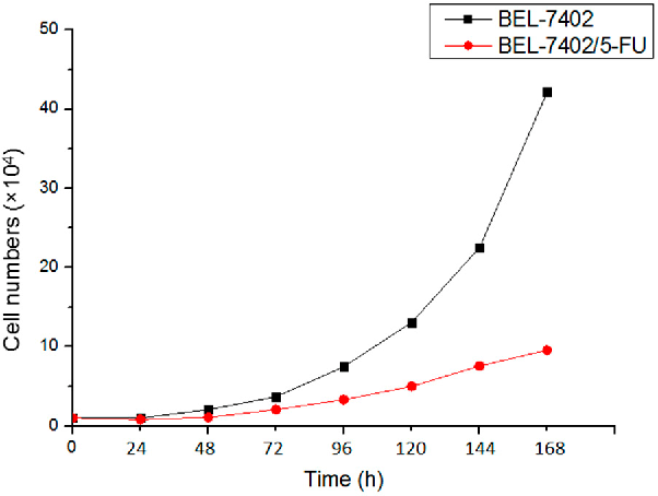 Figure 1. Doubling time of BEL-7402 and BEL-7402/5-FU cells.