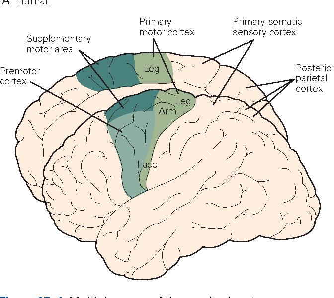 Voluntary Movement: The Primary Motor Cortex - Semantic Scholar