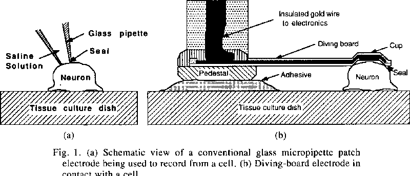 A long term in vitro silicon based microelectrode neuron connection figure 1 ccuart Choice Image