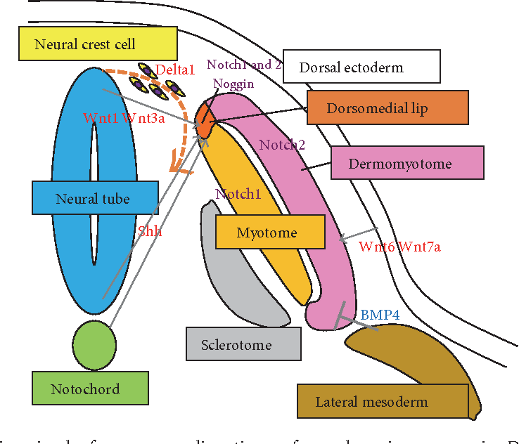 Skeletal Muscle Cell Induction From Pluripotent Stem Cells