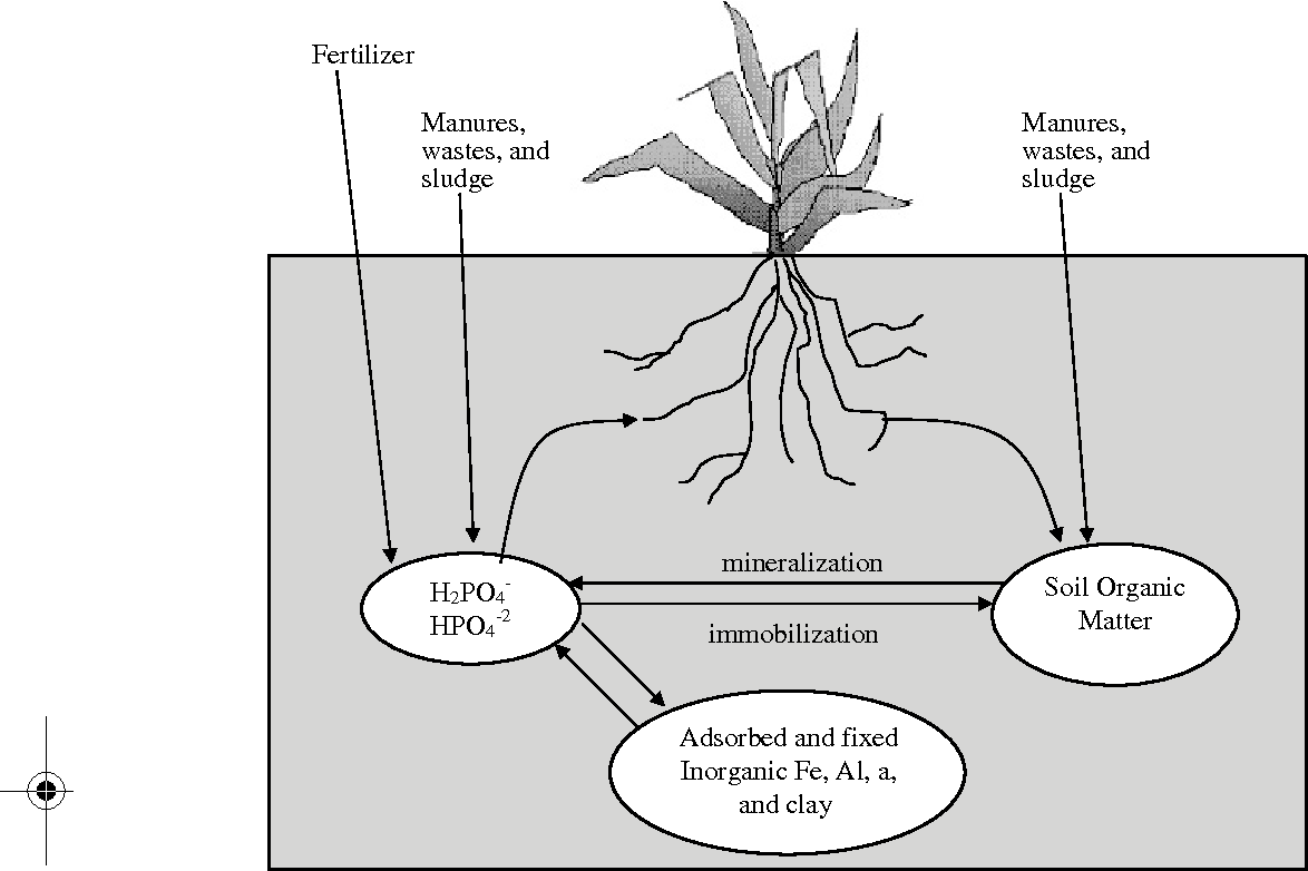 Figure 73 from phosphorus modeling in soil and water assessment figure 73 phosphorus cycle processes modeled by swat from sl neitsch et al ccuart Images