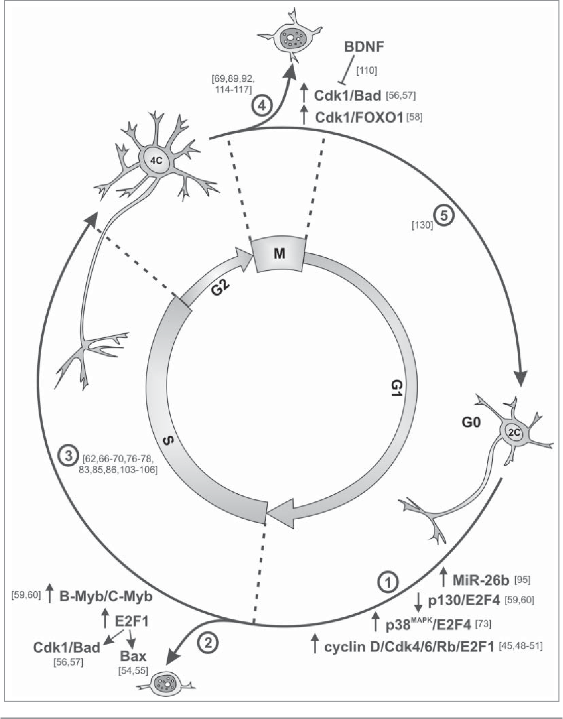 5e4dbeaea4ba Scheme showing the evidence for cell cycle progression in neurons.  Postmitotic neurons