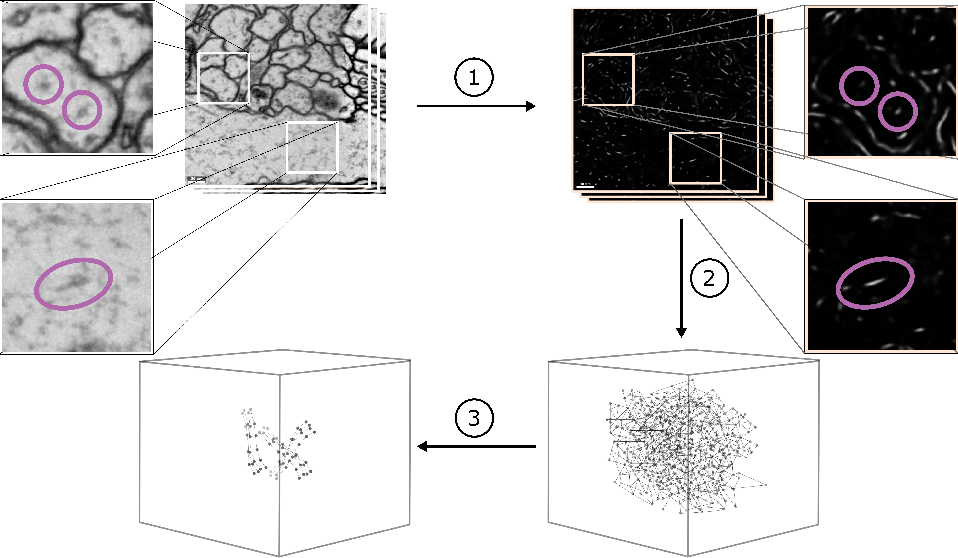 Figure 1 for Microtubule Tracking in Electron Microscopy Volumes
