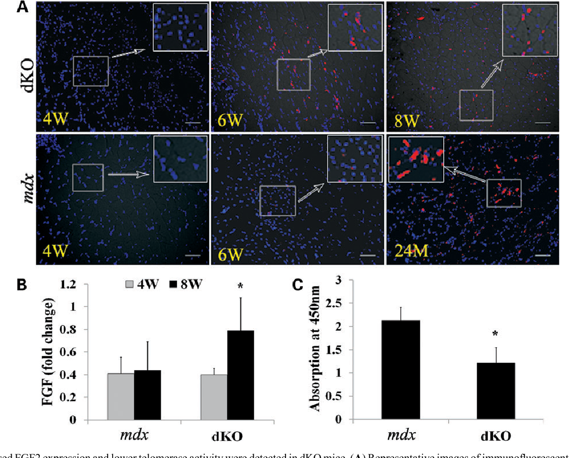 Figure 7. Increased FGF2 expression and lower telomerase activity were detected in dKO mice. (A) Representative images of immunofluorescent staining for FGF2 expression of dKO and mdx muscles (red cells) at different ages. (B) RNA was extracted from frozen muscle tissue and real-time PCR was performed. The graph shows the quantification of the PCR results (∗P , 0.05). (C) Telomerase activity in the MDSCs was detected with TeloTAGGG Telomerase PCR ELISA kit. The graph shows quantification of telomerase activity in MDSCs isolated from dKO and mdx mice. Error bars indicate 'mean+SD'. ∗P , 0.05. In (A), all scale bars ¼ 50 mm.