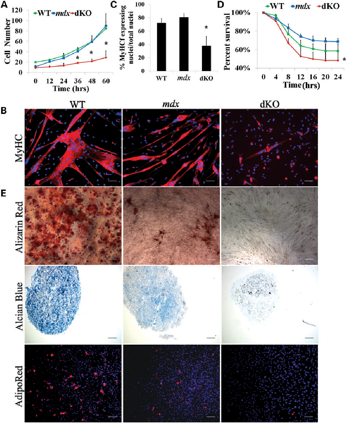 Figure 5. Muscle-derived stem cells (MDSCs) isolated from aged dKO muscle exhibit a reduction of their functionality. (A) Cell proliferation rate was measured using a Live Cell Imaging (LCI) system. The graph displays the average number of cells at each time point (calculated from 3–4 populations per genotype). Error bars indicate 'mean+SD'. ∗P , 0.01. (B) MDSCs were cultured in myogenic differentiation medium for 3 days. Cell fusion into multinucleated myotubes was determined by immunostaining for MyHCf, a terminal myogenic differentiation marker. (C) Myogenic differentiation was quantified by calculating the number of nuclei in MyHCf-positive myotubes relative to the total number of nuclei in the culture. A total of three populations of WT, mdx and dKO MDSCs were tested. Error bars indicate 'mean+SD'. ∗P , 0.01 (D) Each cell population (dKO,mdx and WT) was exposed to 400 mM hydrogenperoxide in proliferationmedium containing PI. Using the LCI system, 100× bright field and fluorescence images were taken at 10 min intervals over 24 h. Identifying the number of PI+ cells per field of view out of the total cell number determined the percentage of cell death over time. Error bars indicate 'mean+SD', n ¼ 3,∗P , 0.01. (E) Multilineage differentiation of MDSCs. The three populations of cells were cultured in insulin mediated adipogenic differentiation medium, BMP2 supplemented osteogenic medium and chondrogenic induction media supplemented with BMP2 and TGFb3, respectively, and then alizarin red (top), alcian blue (middle) and AdipoRed (bottom) staining were performed. In (B), all scale bars ¼ 50 mm. In (E), scale bar ¼ 50 mm for alizarin red and alcian blue, scale bar ¼ 100 mm for AdipoRed.