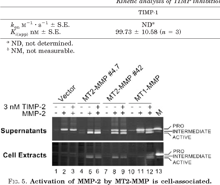 Cellular Activation Of MMP 2 Gelatinase A By MT2 Occurs Via TIMP Independent Pathway