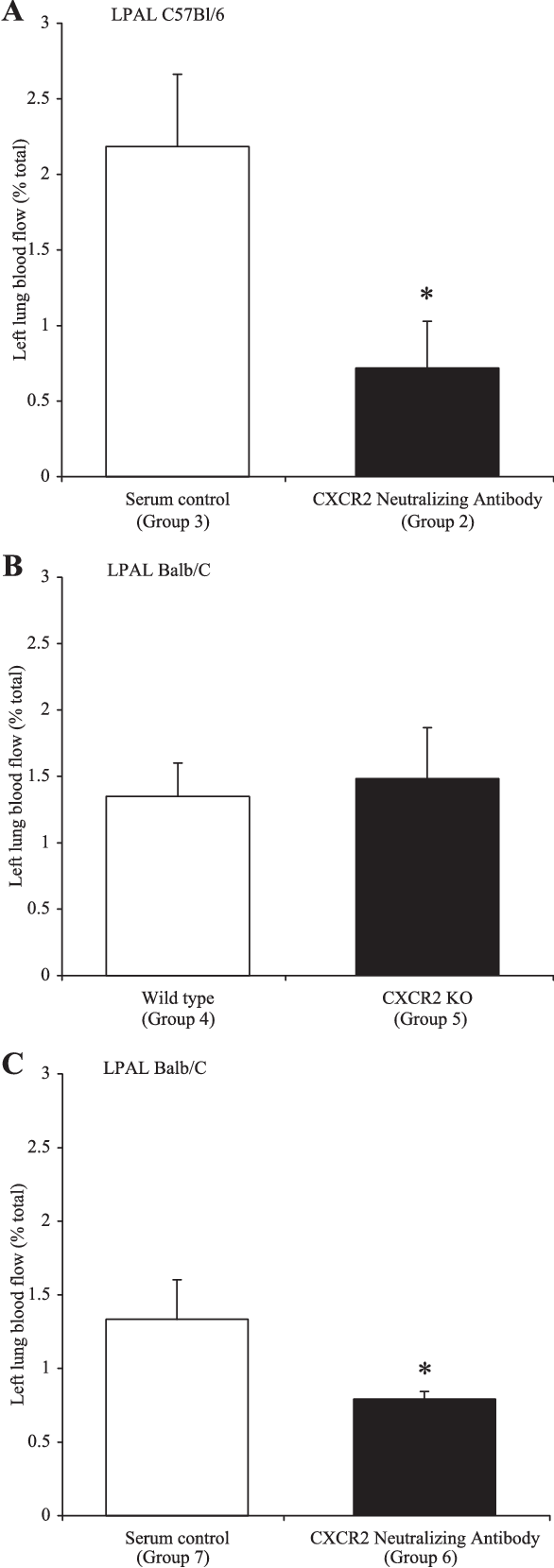 Fig. 1. Average left lung blood flow as a percent (%) total blood flow, 14 days after left pulmonary artery ligation (LPAL). A: compares serum-treated control C57Bl/6 mice (group 3; n 4) with mice treated every 48 h with a CXCR2-neutralizing antibody (group 2; n 4; *P 0.025). B: compares wild-type BALB/c mice (group 4; n 9) with CXCR2 knock out (KO) mice (group 5; n 8). No difference in blood flow to the left lung was observed between the two groups. C: shows blood flow to the left lung after LPAL in serum treated BALB/c mice (group 7; n 5) with mice treated with CXCR2-neutralizing antibody (group 6; n 7). A significant reduction in blood flow to the left lung was observed 14 days after LPAL (*P 0.026).