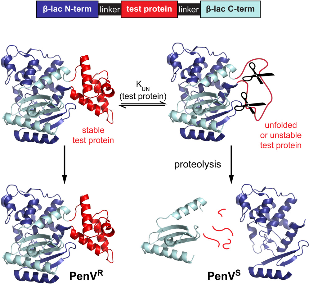Figure 1 from Optimizing protein stability in vivo  - Semantic Scholar