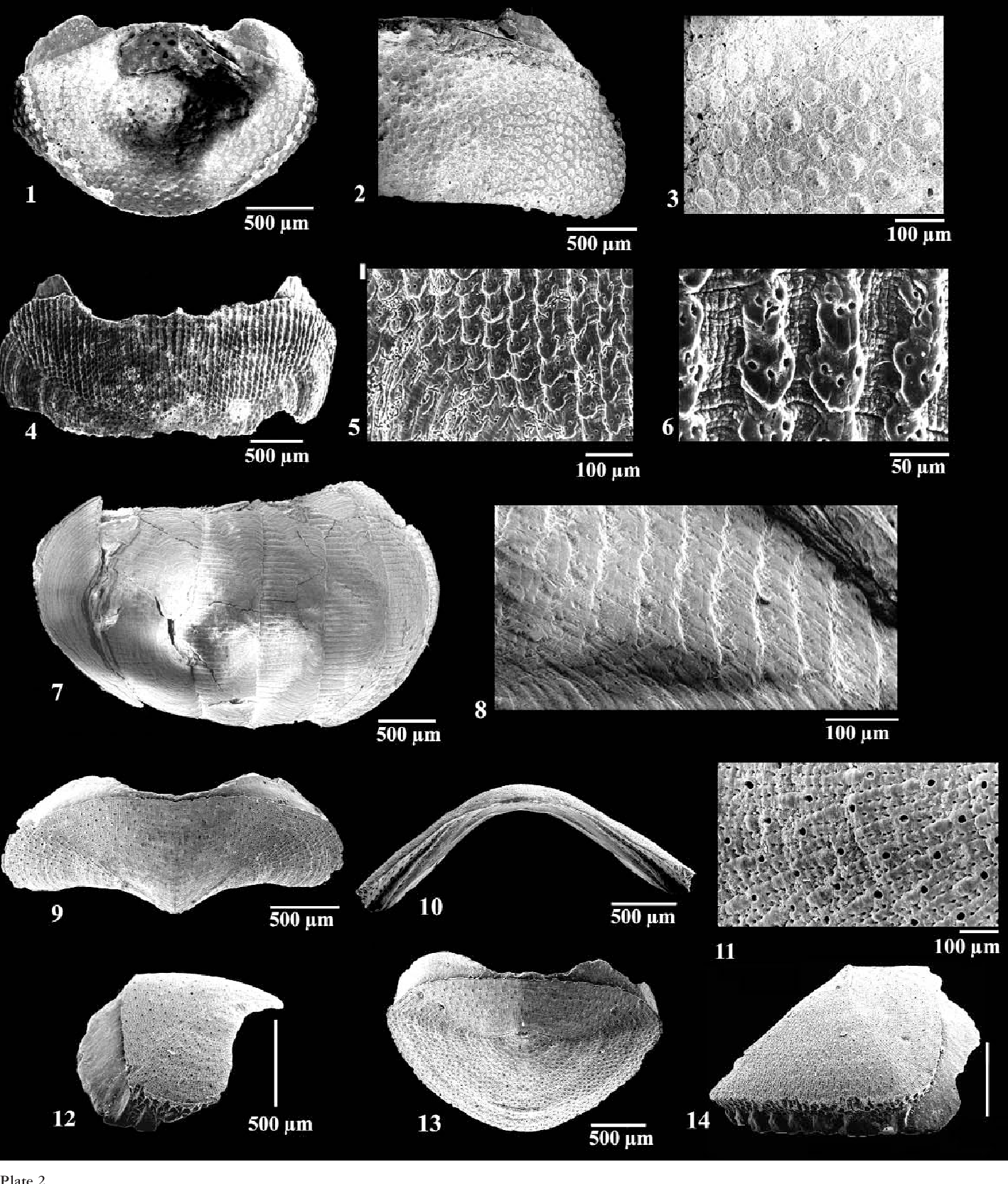 Figure 1-3 from Chitons (Mollusca, Polyplacophora) from