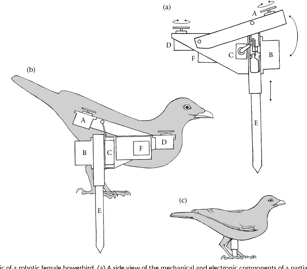 Figure 1. Schematic of a robotic female bowerbird. (a) A side view of the mechanical and electronic components of a partially crouched robot. Robots were capable of four types of movement, each driven by a servo motor (labelled with capital letters). Lateral wing movements were driven by servo A, which was attached to the armature supporting the wings at the posterior (wings were jointed to body armature at the anterior). Vertical body movement was driven by servo B, which lifted the robot upward by pushing down against the top of the sharpened post (E) (this post was pushed into the ground to support the robot). Forward-tilting body movement was driven by servo C, which lifted an arm to which the body armature was attached. Lateral head movement was driven by servo D, to which the head was attached directly. Downward and forward-tilting body movements were coupled to model downward crouching during experimental courtships; the opposite was used to model upward startling. Servo movements were controlled via a circuit board and computer chip inside the robot (F) and another inside the remote controller (see Methods for details). (b) The opposite side view of the robot, showing the relationship of the mechanical and electronic components of the robot to the bowerbird skin and armature. (c) The finished robot in an upright position.