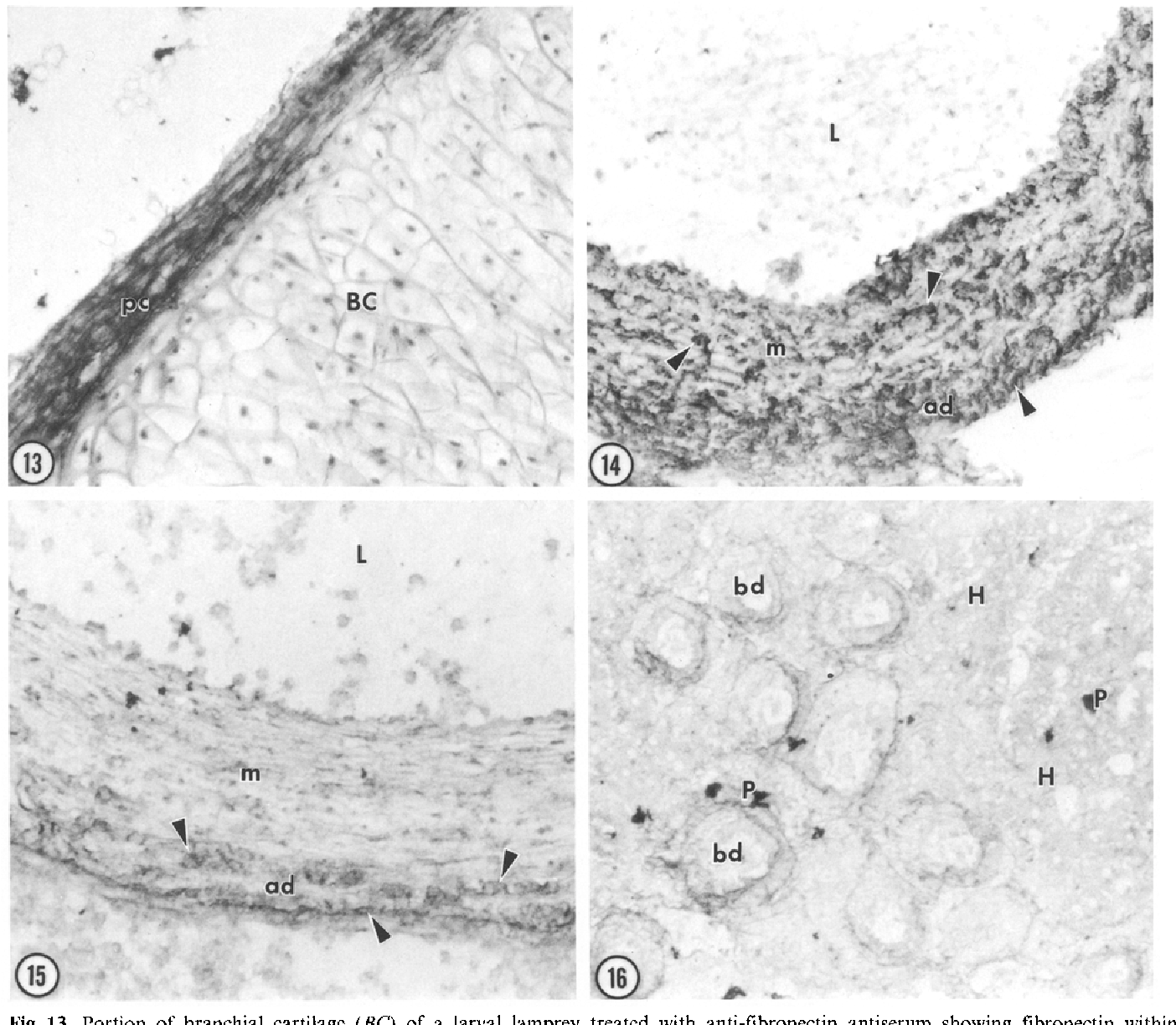 Fig. 13. Portion of branchial cartilage (BC) of a larval lamprey treated with anti-fibronectin antiserum showing fibronectin within perichondrium (pc). x 400