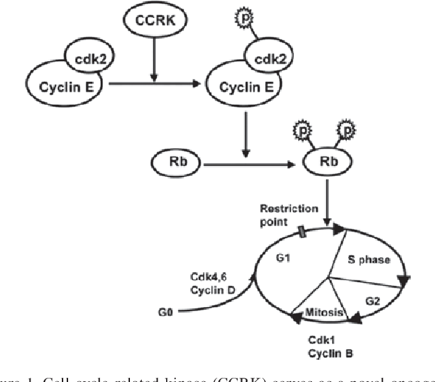 Figure 1 From Cell Cycle Related Kinase In Carcinogenesis Review