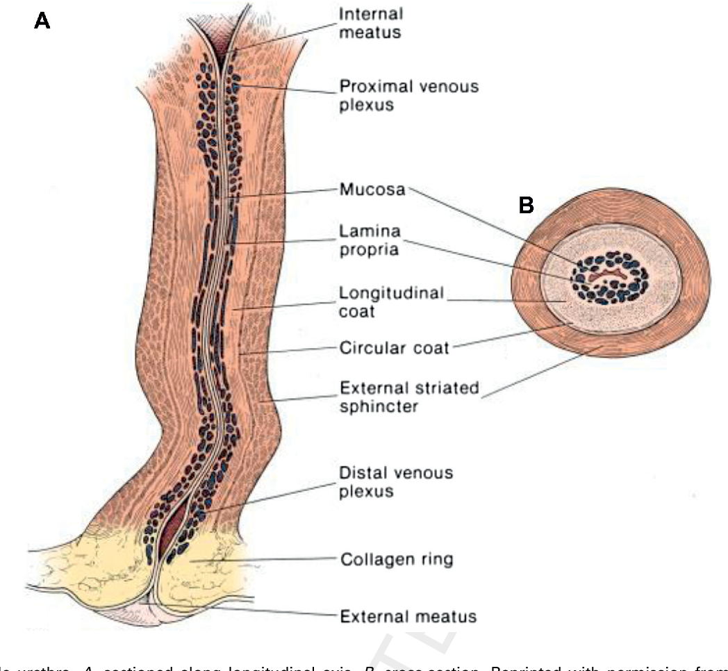 Figure 2 From Female Urethral Reconstruction Semantic Scholar