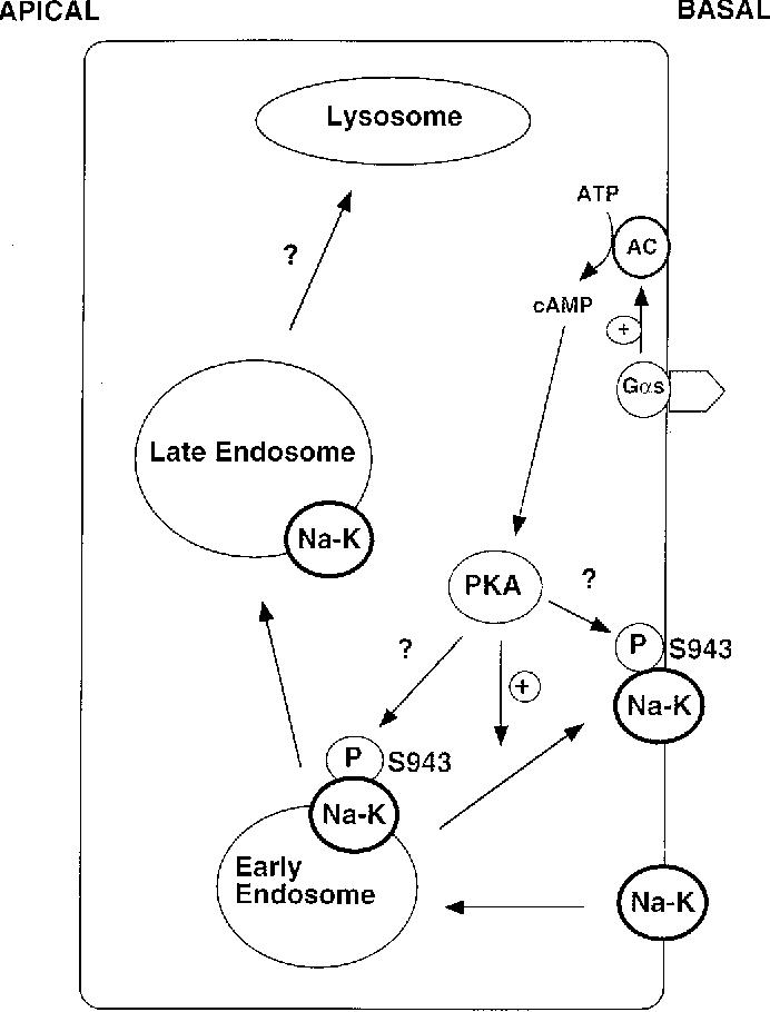 Sodium Potassium Adenosinetriphosphatase Dependent Sodium Transport
