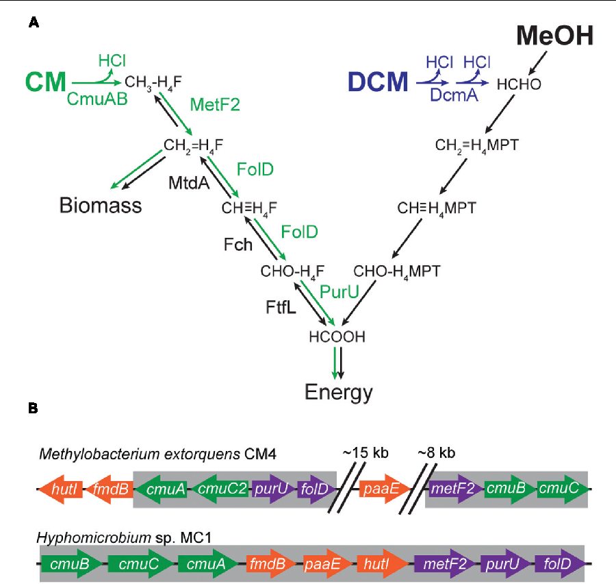 transfer of a catabolic pathway for chloromethane in