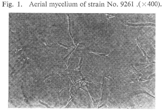 Fig. 1. Aerial mycelium of strain No. 9261 .(x400). Table 2. Physiological properties of strain No. 9261.