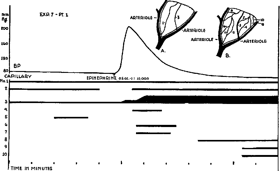 Fig, 10. (From expt. 7, part I, Jan. 12, 1928, prepared as described above.) Changes in circulation following 0.5 cc. of l:lO,OOO solution epinephrine. The number of active capillaries increased and the vessel labelled capillary S which had shown a circulation of red cells in single file dilated to become an arteriole with 8 QX more cells abreast.