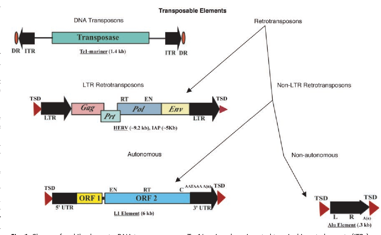 Figure 1 from Mobile elements: drivers of genome evolution ...