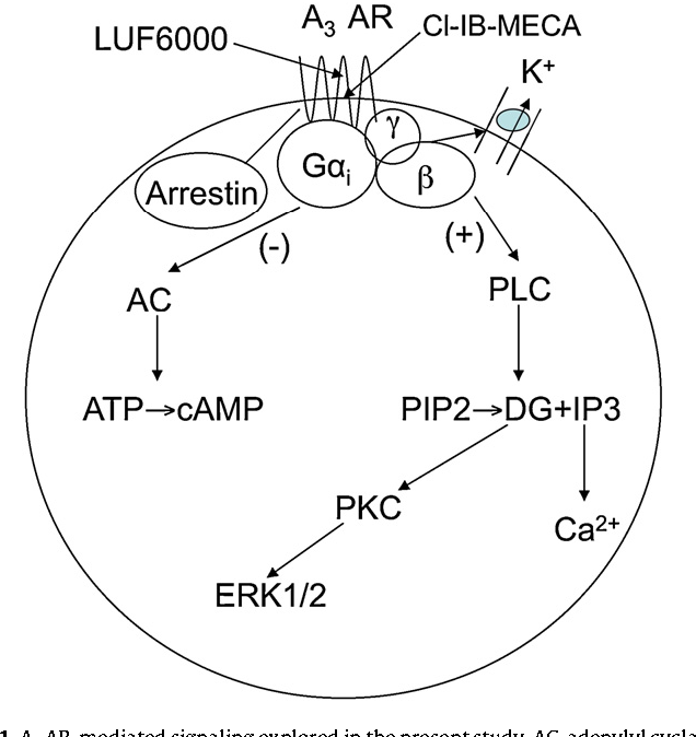 Figure 1 From Functionally Biased Modulation Of A3 Adenosine