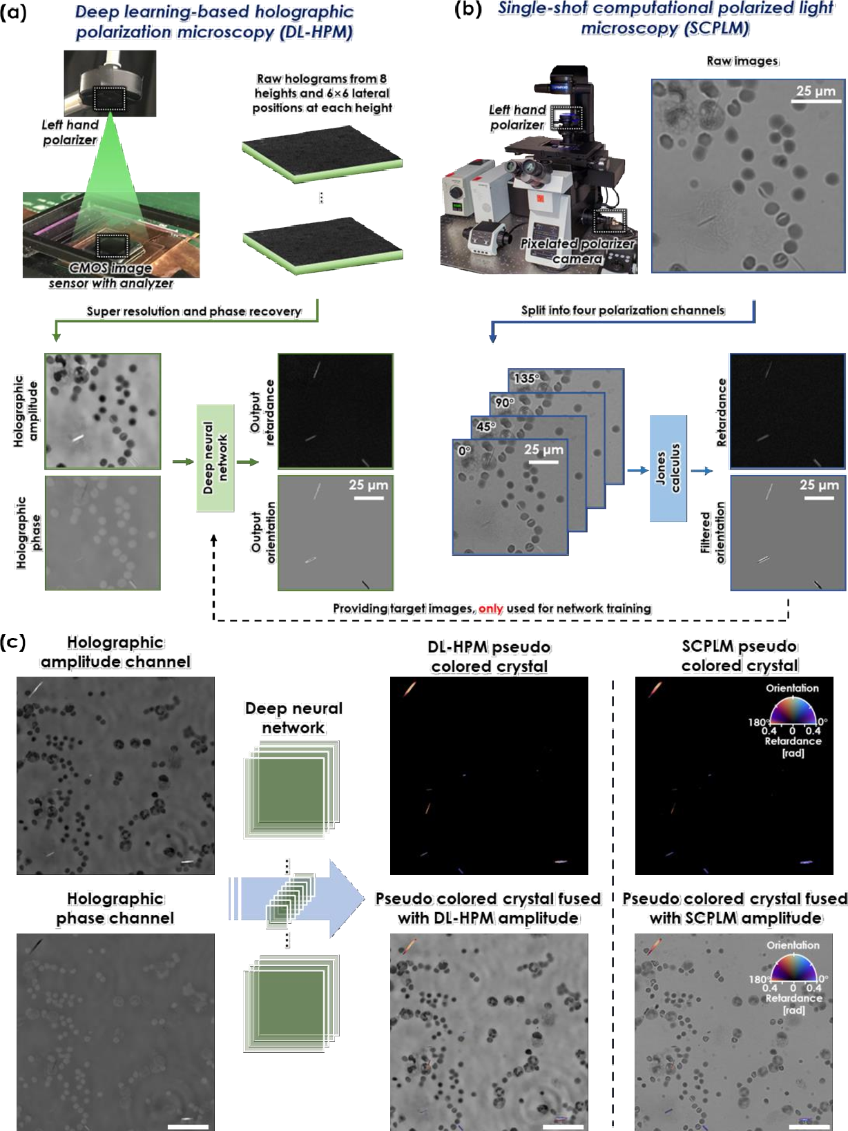 Figure 1 for Deep learning-based holographic polarization microscopy