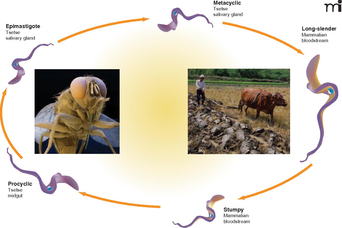 Trypanosoma Cruzi Life Cycle