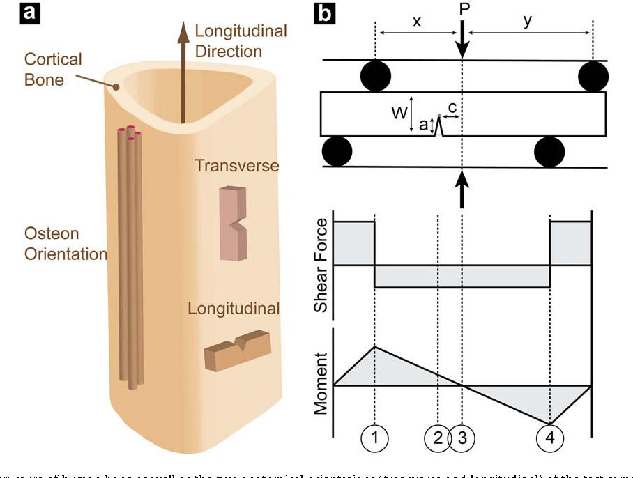 Mixed Mode Fracture Of Human Cortical Bone Semantic Scholar
