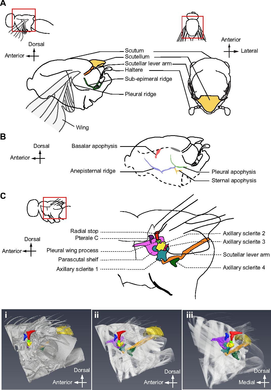 Figure 5 from Mechanics of the thorax in flies. - Semantic Scholar