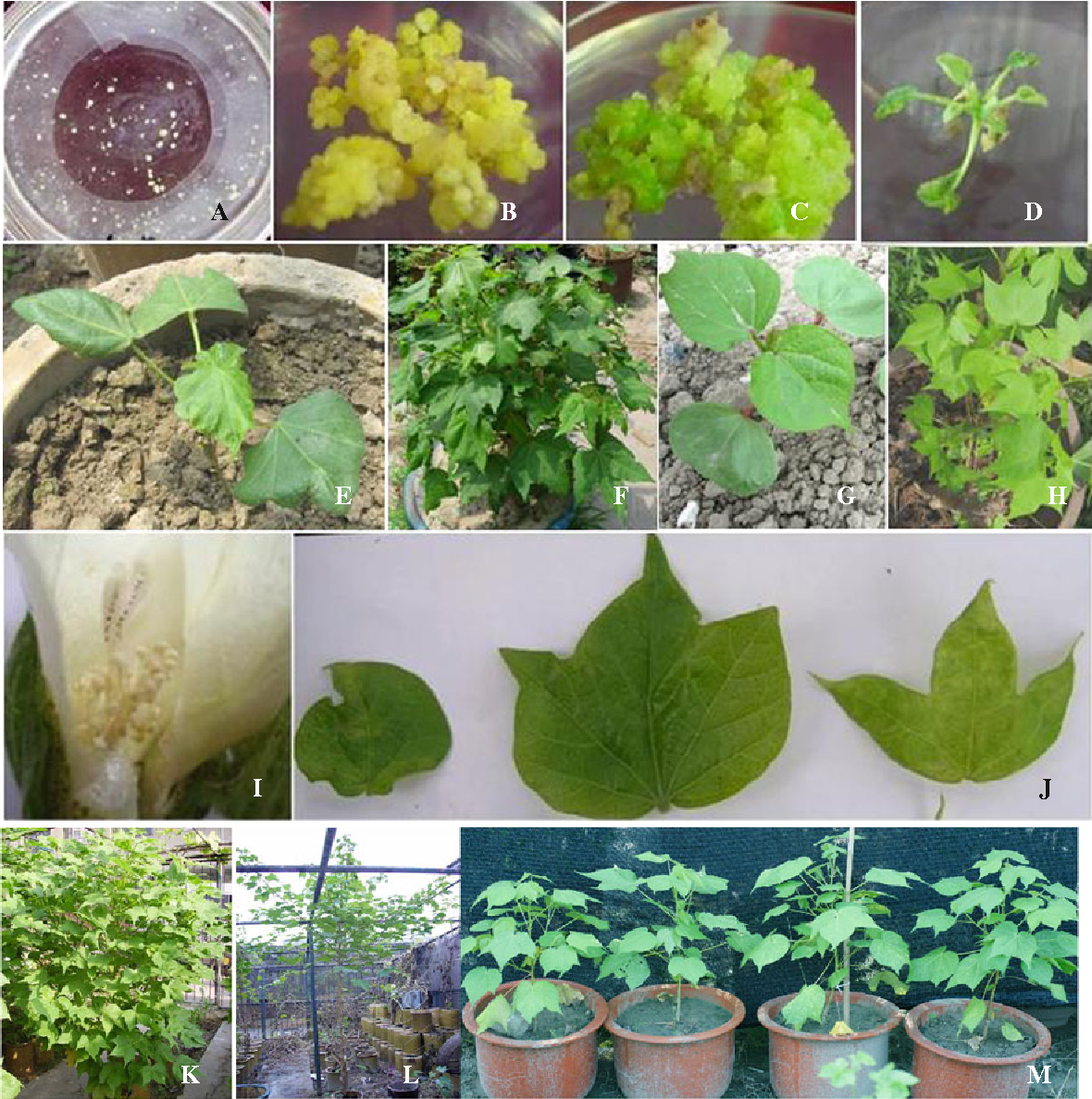 Figure 1 from Characteristics of fertile somatic hybrids of