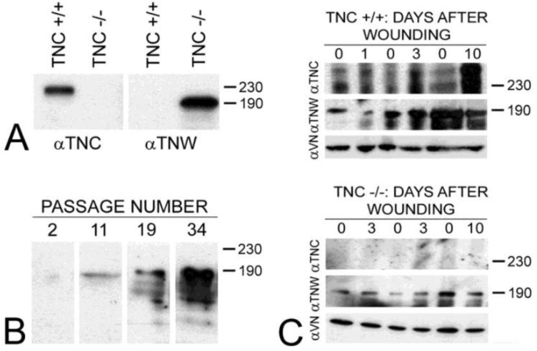 Fig. 3. The expression of tenascin-C (TNC) and tenascin-W (TNW) by primary fibroblasts from tenascin-C+/+ and tenascin-C-/- dermis were compared by immunoblotting (A). Fibroblasts from normal dermis express tenascin-C, but fibroblasts derived from tenascin-C knockout skin expresses tenascin-W. Amido black was used to demonstrate equal loading (not shown). The expression of tenascin-W by the fibroblasts derived from tenascin-C-/- dermis increased with passaging (B). The expression of tenascins-C and -W was also examined by immunoblotting homogenates of control and wounded skin (C). There is an increase in the expression of tenascin-C 3 (2.7 fold) and 10 days (4.5 fold) following wounding. Tenascin-W expression is upregulated 1.5 fold 3 days following wounding, but is not upregulated after 10 days both in tenascin-C +/+ and tenascin-C -/- mice. Anti-vinculin (VN) was used to normalize the changes in the intensity of the anti-tenascins. In wounds from the tenascin-C-/- mice, the expression of tenascin-W remains unchanged. Apparent molecular weights are indicated by size standards (kDa).