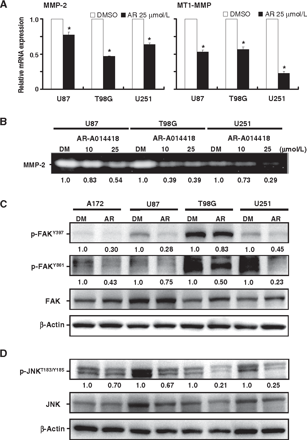 Figure 4. Effect of GSK3b inhibition on the expression of MMP-2 and MT1-MMP (A), the secretion of MMP-2 (B), and the expression and phosphorylation of FAK (C) and JNK (D) in glioblastoma cells. A, the expression of mRNA for MMP-2 and MT1-MMP was measured by qRT-PCR in glioblastoma cells after 24 hours of treatment with DMSO or ARA014418 (AR). Relative levels of mRNA expression shown are the means SDs from four separate experiments. , P < 0.05, statistically significant difference between cells treated with DMSO and AR-A014418. B, glioblastoma cells were grown in regular medium for 24 hours and then in serum-free medium for 2 hours. Both media contained either DMSO (DM) or AR-A014418. The conditioned media were collected from the respective cell cultures and analyzed for MMP-2 by gelatin zymography. The value shownbelow each lane is the relative amount of MMP-2 quantified by densitometry and normalized to the same cells treated with DMSO. C and D, Western blotting analyses comparing the levels of phosphorylation for FAK (p-FAKY397, p-FAKY861) and JNK (p-JNKT183/Y185) between glioblastoma cells treated with DMSO (DM) or with 25 mmol/L AR-A014418 (AR) for 24 hours. The value below each lane shows the relative level of p-FAKY397, p-FAKY861, or p-JNKT183/Y185 quantified by densitometry and normalized to total FAK or JNK in the same cells.