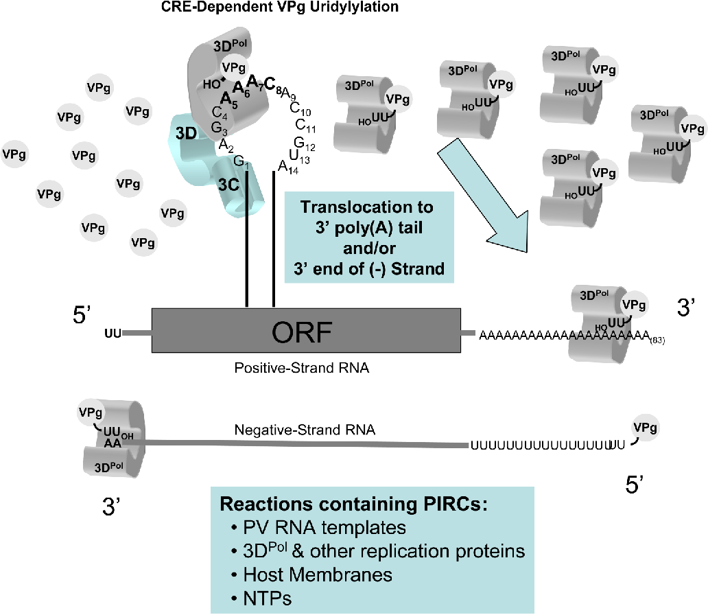 Figure 7 from Cis-active RNA elements (CREs) and picornavirus RNA