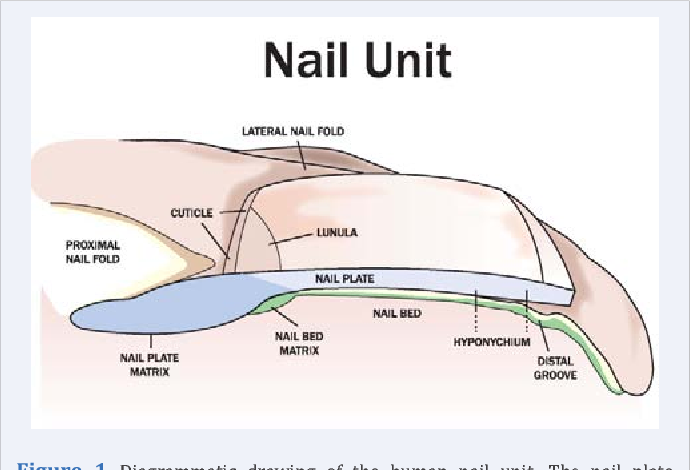 Figure 1 from The Nail Bed , Part I . The Normal Nail Bed Matrix ...