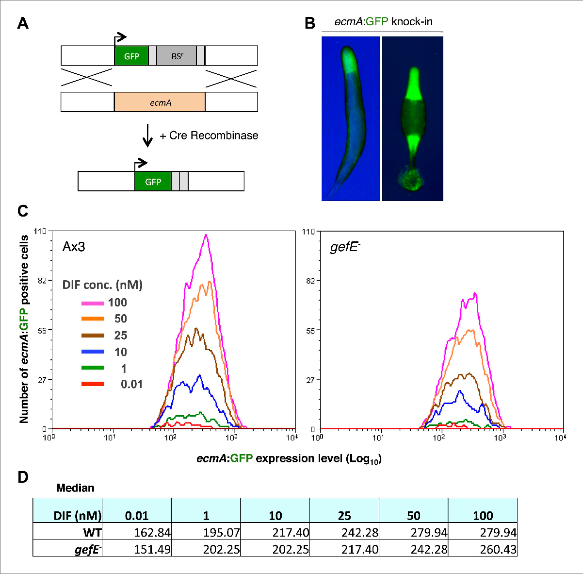 Figure 5. GefE regulates the DIF response threshold. (A) Replacement of the endogenous ecmA gene with GFP (B) prestalk specific expression of GFP knock-in strain at slug and culminant stages. (C) FACS analysis of Ax3 wild type and gefE− mutant GFP knock-in strains stimulated with 0.01–100 nM DIF for 9 hr. Y-axis shows the number responders and X-axis the GFP expression level per cell. (D) Median GFP expression level of wild type and gefE− mutant populations stimulated with 0.01–100 nM DIF. DOI: 10.7554/eLife.01067.012
