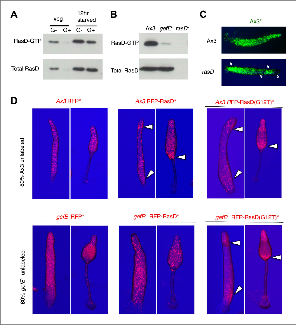 Figure 6. GefE activates RasD. (A) Comparison of the levels of activated RasD-GTP and total RasD by Western blot in vegetative or 12 hr starved cells grown in the presence or absence of glucose. (B) Comparison of activated RasD-GTP and total RasD levels by Western blot in wild type Ax3, gefE− or rasD− cells. (C) GFP-labelled (*) Ax3 wild type cells mixed at 10:90 ratio with unlabelled Ax3 or rasD− mutant cells. Closed arrows show enrichment of wild type cells in pstO and pstB populations. Open arrows show reciprocal enrichment of rasD− cells. (D) RasD overexpression results in GefE dependent bias towards the pstO and pstB cell fates. 20% cells constitutively expressing RFP, RFP-RasD or RFP-RasD(G12T) were mixed with 80% unlabelled parental cells. When wild type Ax3 cells overexpress RFP-RasD or RFP-RasD(G12T) they become enriched in the pstO and pstB populations (arrows). Only gefE− cells that express constitutively activated RasD(G12T) are enriched in pstO and pstB populations (arrows). DOI: 10.7554/eLife.01067.013