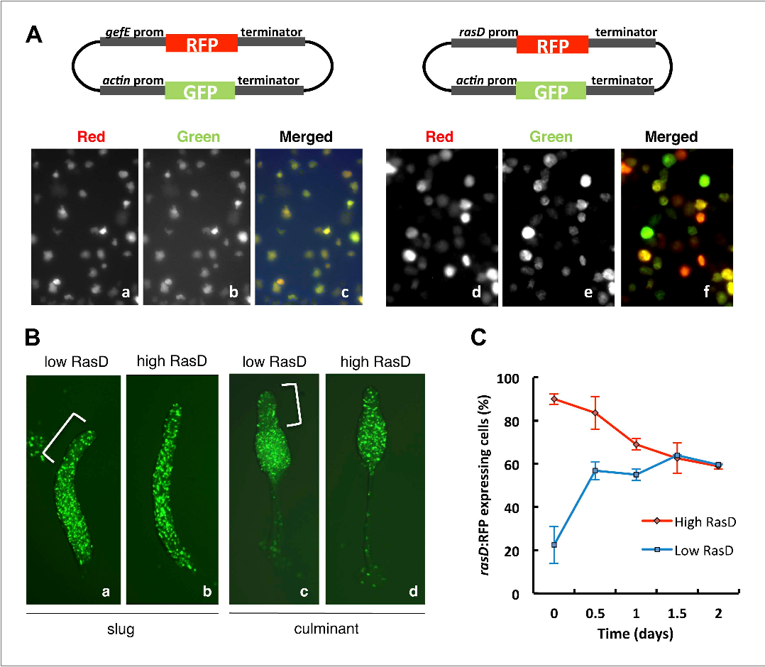 Figure 7. RasD expression is heterogeneous in growth phase populations. (A) Dual promoter vectors used to drive constitutive GFP expression and gefE promoter (left) or rasD promoter (right) driven RFP expression. Cells growing in tissue culture plates were photographed with a fluorescence microscope on red channel (a and d), green channel (b and e) and both (c and f). (B) Ax3 cells transformed with rasD promoter vector were fractionated into RFP high and RFP low populations by FACS. These populations were mixed in a 5:95 ratio with unlabelled Ax3 cells. Cell fate choice was traced by constitutive expression of GFP at slug (a and b) and culminant (c and d) stages. White bars show regions of fewer GFP cells. (C) FACS sorted low or high rasD:RFP cells were cultured back in HL-5 medium. The ratio of RFP:GFP cells was scored over time. DOI: 10.7554/eLife.01067.015