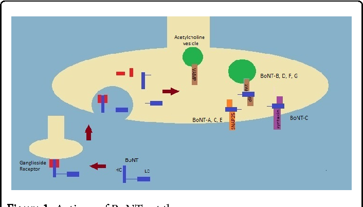 Figure 1: Actions of BoNTs at the synapse.