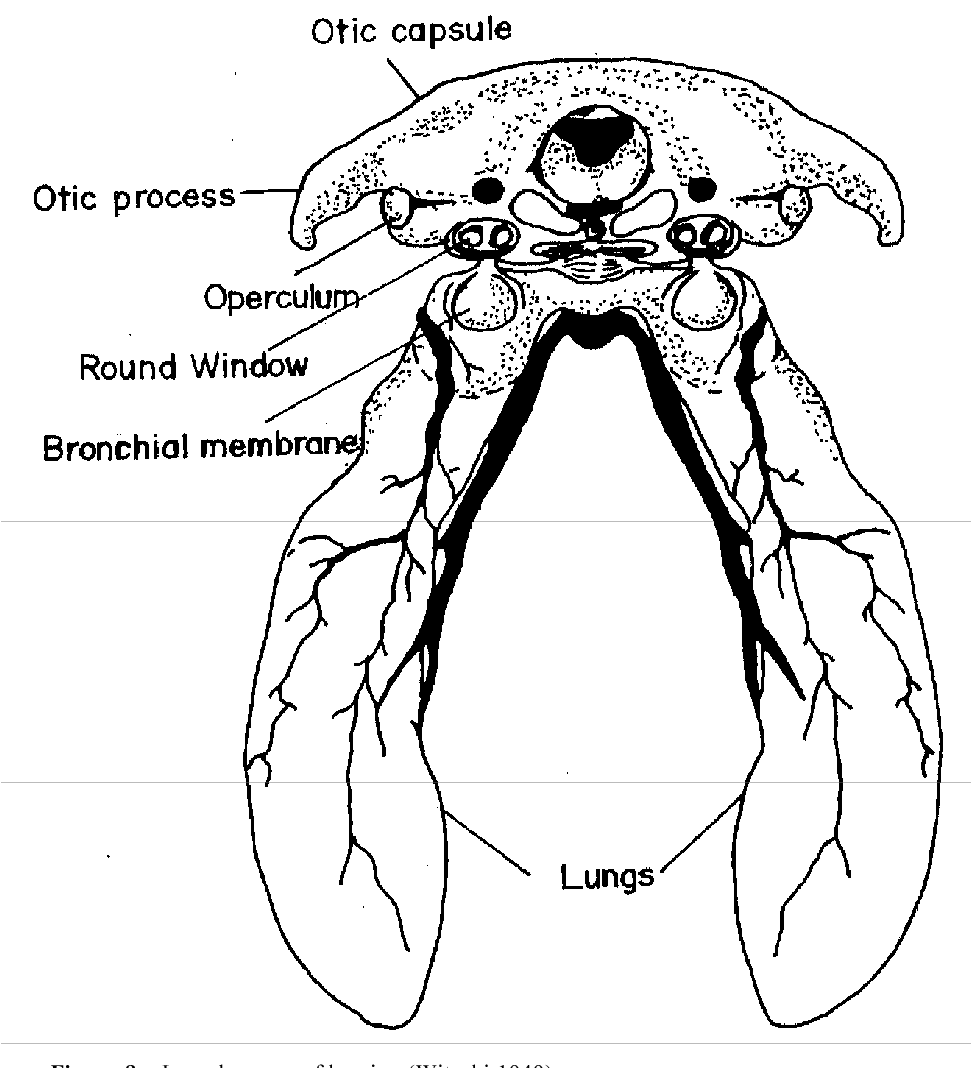 Figure 8. Larval organs of hearing (Witschi 1949).