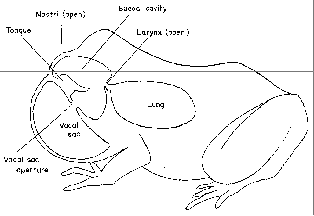 Figure 4. Schematic representation of an anuran showing structures involved in vocalization (Duellman and Trueb 1986).