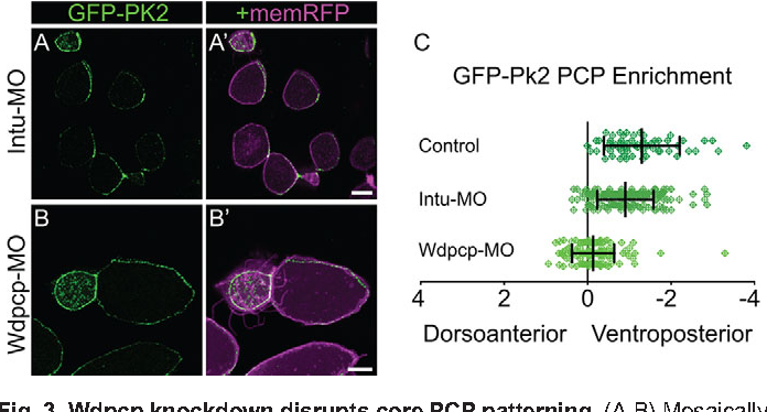 Figure 3 from Control of vertebrate core planar cell