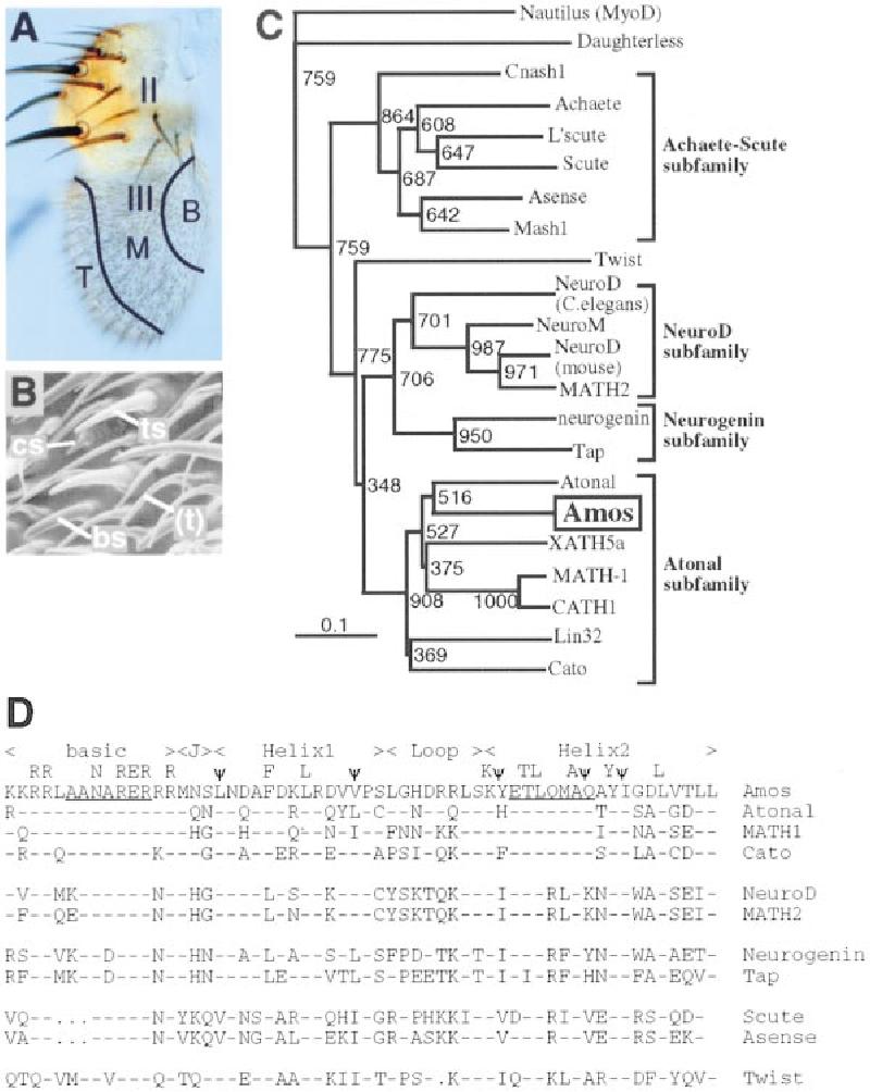 amos, a Proneural Gene for Drosophila Olfactory Sense Organs
